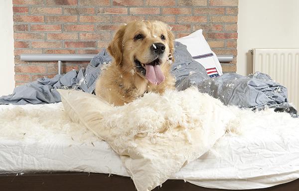 Furniture and Pets - demolishing dog